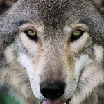 Los lobos al acecho.