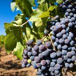 5º Concurso del Vino en Coelemu
