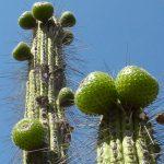 Copao: el tesoro endémico del norte del Chile