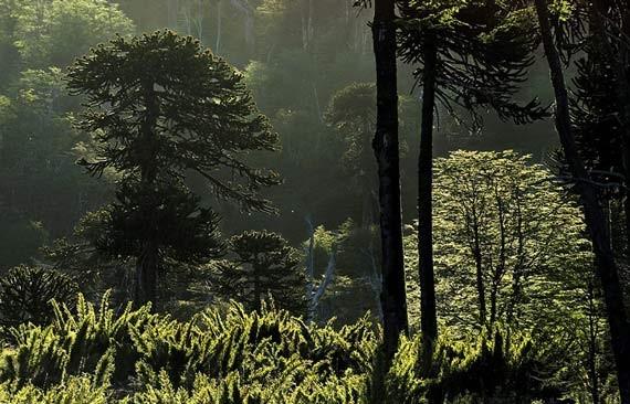 NUEVO MODELO FORESTAL PARA CHILE